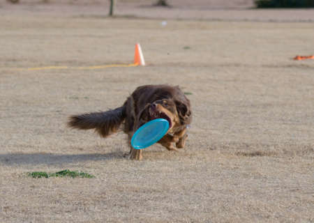 Brown dog catching a disc Stockfoto
