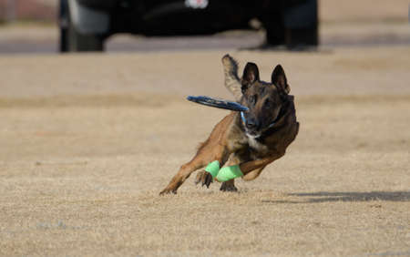 Malinois staring at the disc right before he catches it Stock Photo