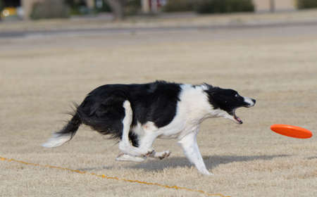 Border collie running to catch a disc
