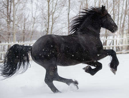 Friesian horse galloping in the snow Stok Fotoğraf