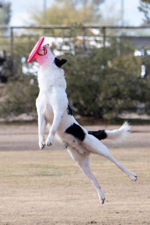 Border collie missing the catch of the disc