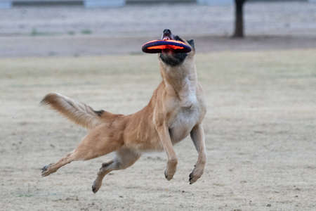 Malinois catching a disc off the ground