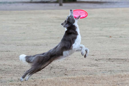 Border collie missing catching the disc Stockfoto