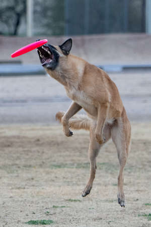 Belgian Malinois trying to catch a disc
