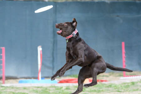 Chocolate lab missing a disc in the air