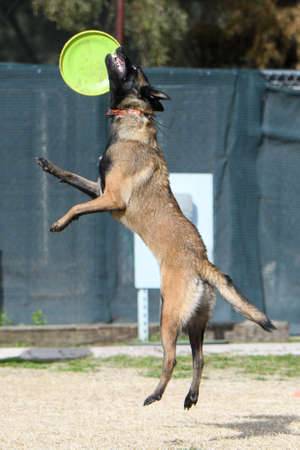 Belgian Malinois missing a disc on the air