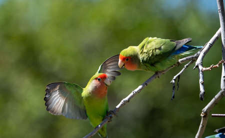 Two peach faced lovebirds fighting Stockfoto