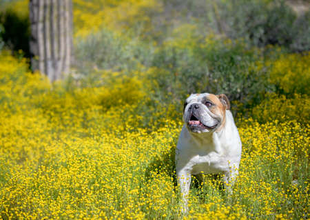 Bulldog portrait in the AZ desert with wildflowers