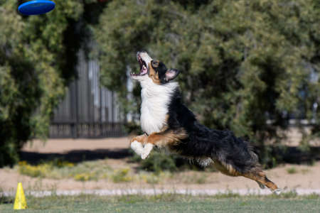 Australian shepherd stretched out to catch a disc