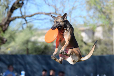 Belgian Malinois dog in mid air with a disc Stockfoto