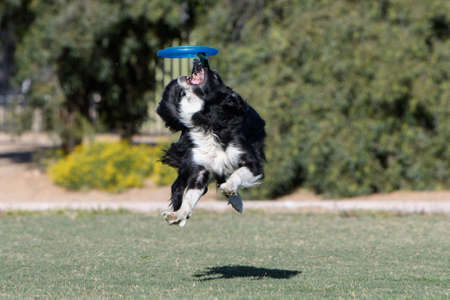 Border collie tipping a disc off his nose trying to catch it Stock Photo