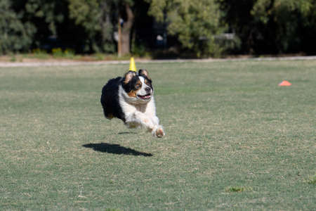 Australian shepherd with four legs off the ground running