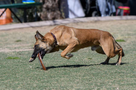 Brown dog grabbing a disc as it lands on the grass
