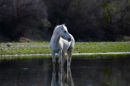 Wild horse of the Salt River, Arizona band standing in the low water of the river. Salt River, AZ USA March 19, 2019 Imagens