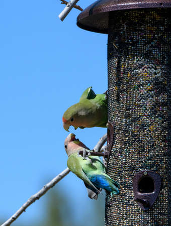 Two lovebirds fighting on a feeder