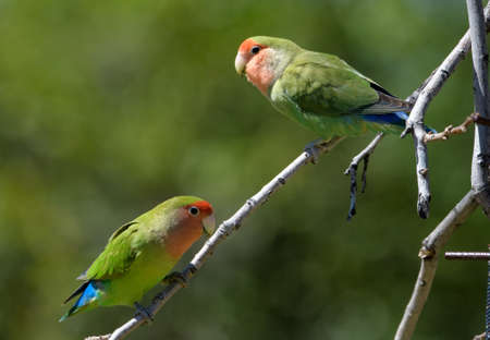 Two lovebirds on a branch Stockfoto