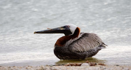 Brown pelican on the shore Stock Photo