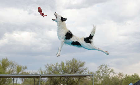 Border collie dock diving and catching a toy in the air Stockfoto