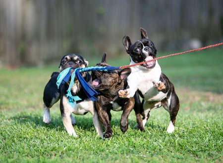 3 French bulldogs playing with a flirt pole line in the grass