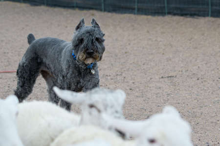 Bouvier that has been shaved looking at it's flock of sheep