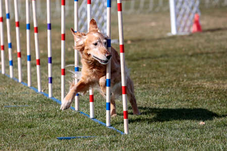 Golden retriever doing the weave poles on an agility course Фото со стока