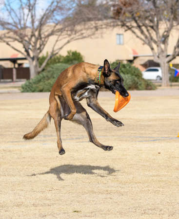 Malinois after catching an orange disc and landing in a field Stockfoto
