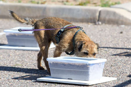 Border terrier trying to find a buried oder during a scent work game