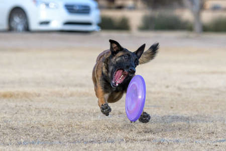 Belgian Malinois about to grab a disc on the grass while chasing it