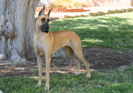 Great Dane looking over her shoulder and posing in the park
