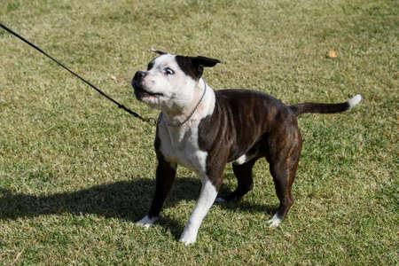 Staffordshire terrier looking funny to catch a tossed treat
