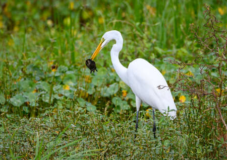Great egret eating a small turtle