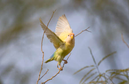 A pale yellow love bird with it's wings spread taking flight from a branch