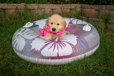 Golden retriever puppy sitting in a floral print swimming tube