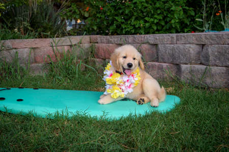 Golden retriever puppy sitting on a surf board with a lei on Stok Fotoğraf