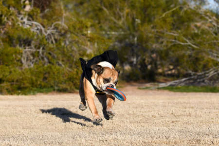 Athletic English bulldog in a cape catching a disc