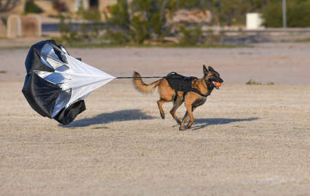 Belgian Malinois with a parachute doing resistance training at the park