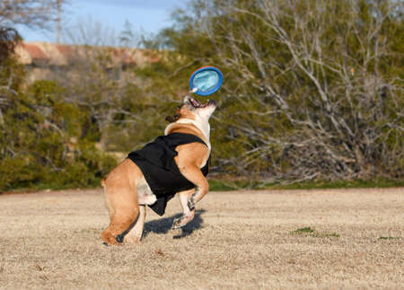 English bulldog jumping up to catch a disc in the air