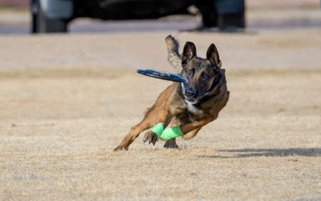 Belgian Malinois with green tape on his ankles about to catch a disc