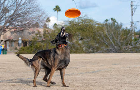 Belgian Malinois at the park looking up to catch an orange disc