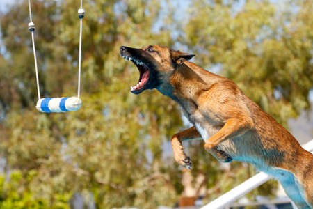 Belgian Malinois in mid air about to grab a toy at a dock diving event Stock Photo