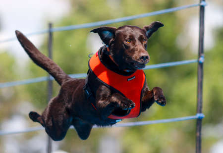 Labrador retriever jumping into the pool at a dock diving event Stock Photo