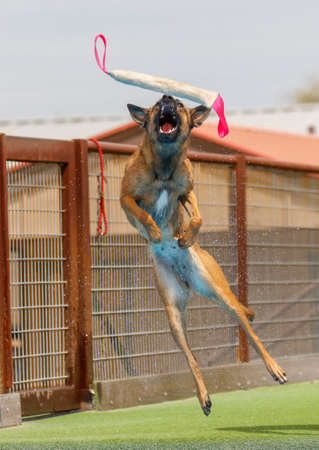 Malinois dog in the air catching a toy at a dock diving event