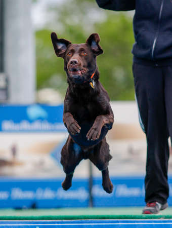 Chocolate lab at a dock diving event jumping into the pool