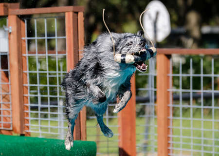 Aussie dog at a dock diving event after grabbing a toy in the air Stock Photo