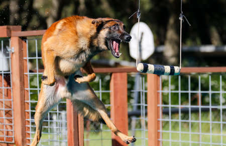 A suspended toy hangs over the pool as a Belgian Malinois is about to grab it at dock diving Stock Photo