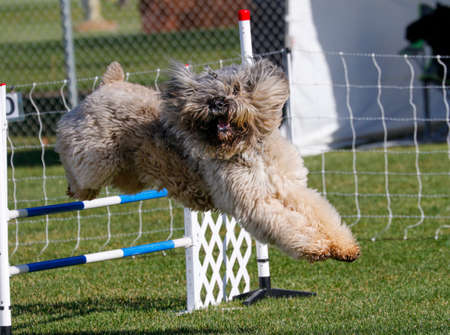 Bouvier des Flanders dog on the agility course going over a jump Stock Photo