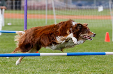 Border collie on an agility course going over a jump Stock Photo
