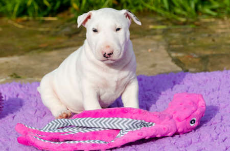 White bull terrier puppy sitting with toys and playing outside Stock Photo