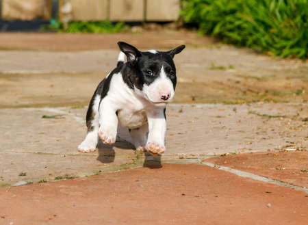 Brindle bull terrier pupply running, jumping and playing outside Stock Photo