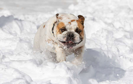 White English Bulldog playing in the winter running through the snow